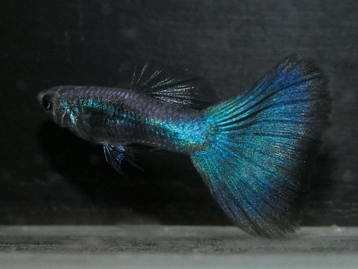 Homo blau 藍化體