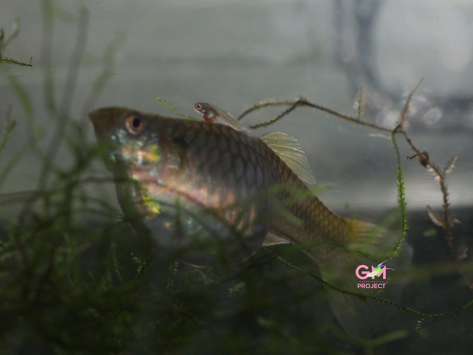 Guppy mother & fry